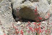 013-Alpine-Flowers-0801_085_W