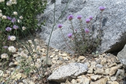 016-More-alpine-flowers-0801_099_W