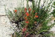 032-Alpine-flowers-0801_216_W