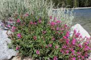 032-Alpine-flowers-0801_227_W