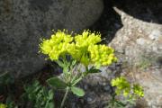 042-Alpuine-flowers-0801_271_W